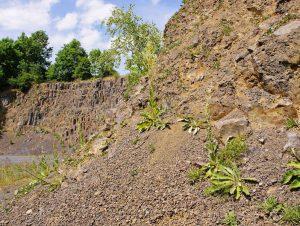 Habitat bei Baruth (Schafberg) – Königskerzen-Bestände auf Basaltgeröll im Steinbruch Schafberg (Fotos: M. Trampenau 5.7.2011)